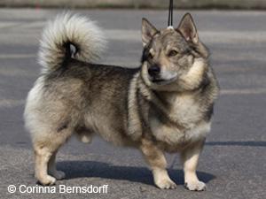 A Basenji Dog Hunderassen aus aller ...